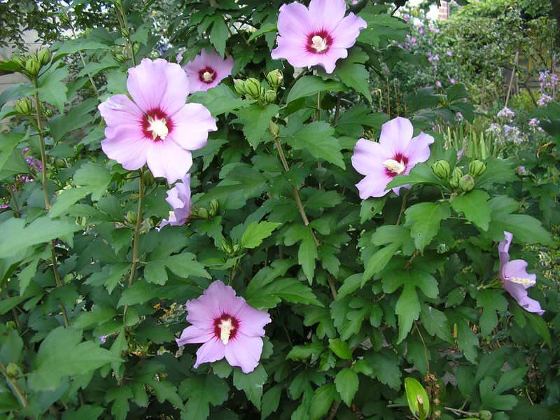 Цветок смерти гибискус цветок смерти