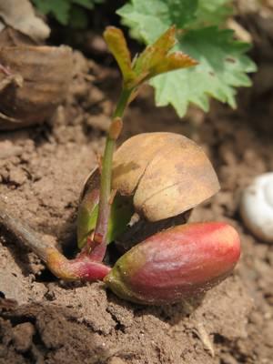 Как посадить на участке дуб