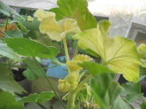 У герани желтеют листья