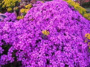 стелющиеся цветы