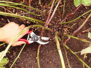 Как обрезать ежевику осенью