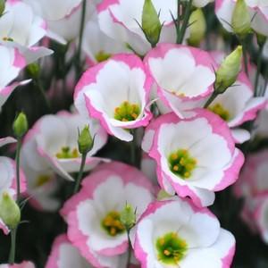 Домашний цветок похожий на розу но не роза