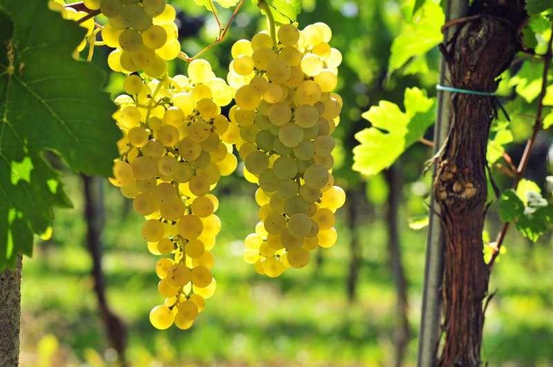 какие бывают сорта винограда для вина