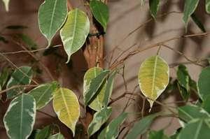 Что делать если фикус бенджамина сбрасывает листья