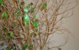 Фикус бенджамина сбрасывает листья и что делать