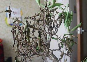что делать если опадают листья у фикуса бенджамина