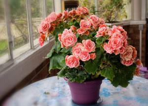 Бегония- фото цветов, родина комнатного растения, как выглядит, где растет и другое описание
