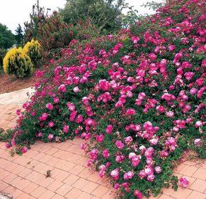 Стелющиеся розы посадка и уход