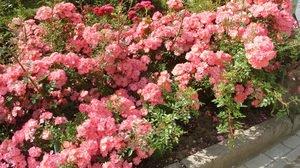 Почвопокровные розы выращивание