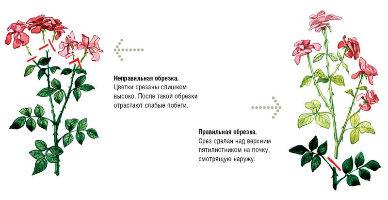 Обрезка роз осенью для начинающих