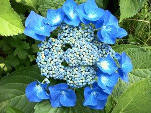 Бело- голубые цветы