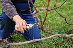 Уход за виноградником весной