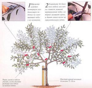 Обрезка вишни - сроки, правила, формирование кроны