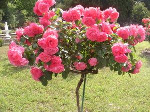 Особенности выращивания роз на штамбе
