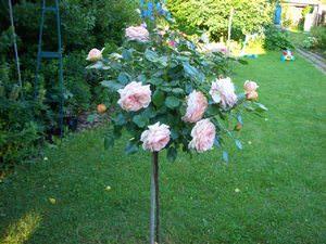 Описание штамбовых роз