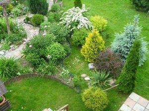 Хвойные растения в саду - особенности