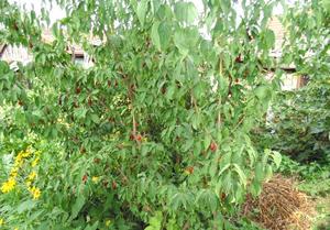 Кизил, выращивание