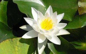 Цветы болотные