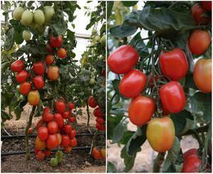 Семена сибирской селекции