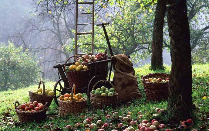 К достоинствам сорта «Румяна» следует отнести высокую урожайность