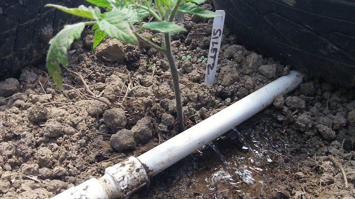 Помидоры, выращиваемые в открытом грунте, в особенно засушливые периоды нужно поливать примерно два раза в неделю