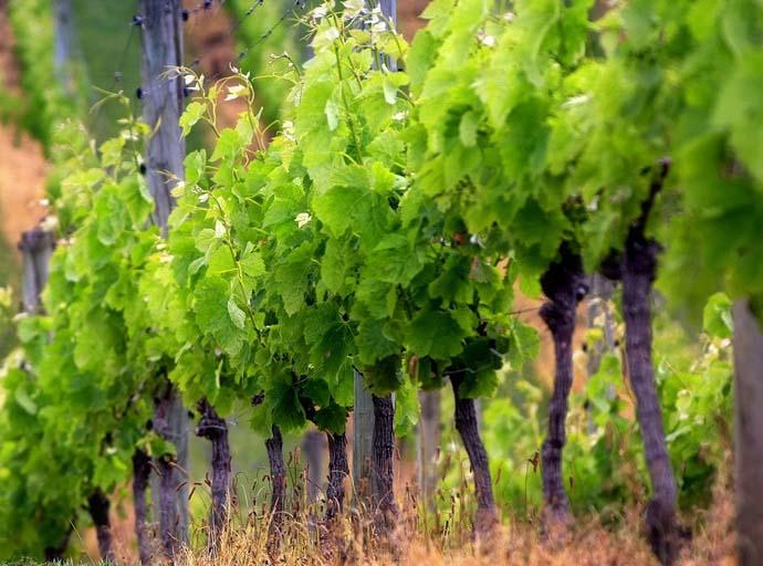 Лучше всего высаживать виноград на южных и юго-западных склонах