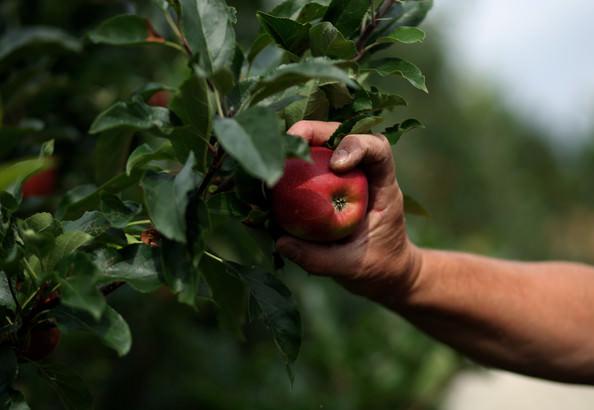 Яблоки сорта «Румяна» собирают в середине осени. Для этого выбирают солнечное утро, дождавшись схода росы