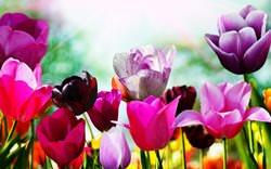 Цветы тюльпаны являются универсальными