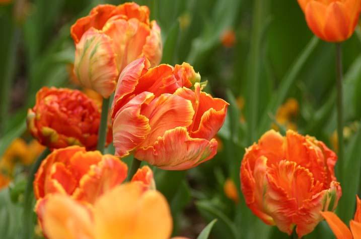 Попугайные – самые необычные и яркие гибриды среди современных тюльпанов