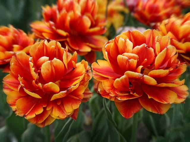 Выбор сорта и особенности посадки тюльпанов