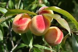 Персик считается одним из наиболее вкусных и полезных фруктов