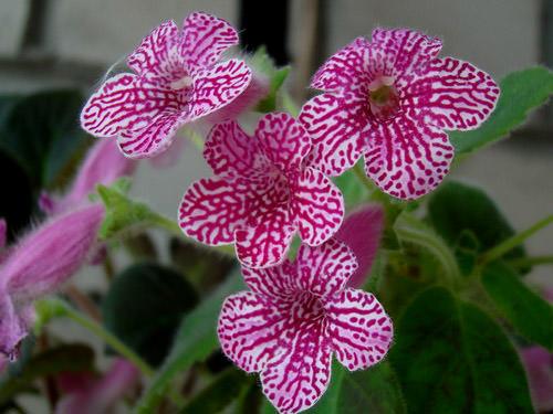 Комнатное растение колерия или тонконог относится к роду многолетних трав