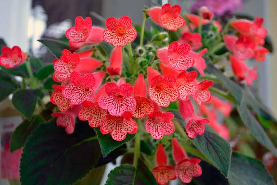 Цветение колерии наблюдается в первой декаде лета