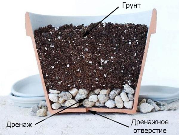 Обязательным условием для выращивания колерии является наличие в горшке дренажных отверстий