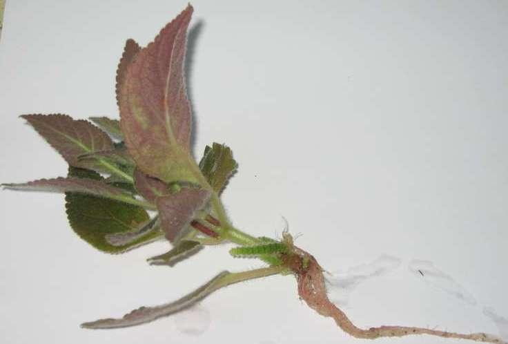 Размножение колерии осуществляется верхушечными стеблевыми черенками