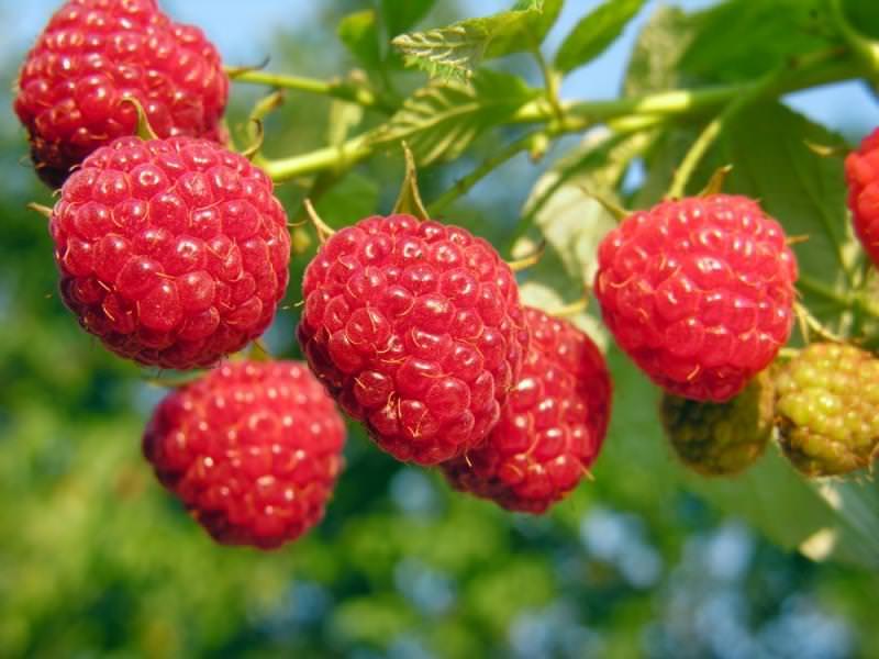 Многие начинающие садоводы выбирают для выращивания только самые урожайные и крупноплодные сорта