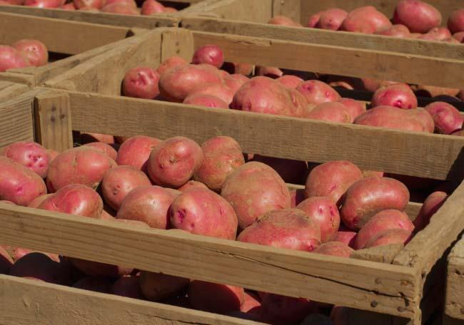 Корнеплоды картофеля «Ред Скарлетт» прекрасно транспортируются и сохраняются до следующей посадочной кампании