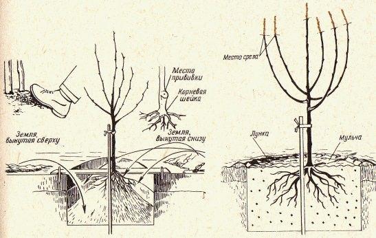 Высадка груши «Москвичка» осуществляется согласно стандартной схеме посадки плодовых деревьев