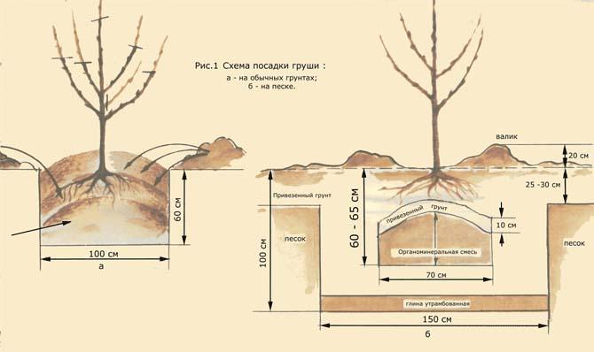 Для выращивания груши «Видная» оптимально подходят хорошо освещенные участки без застоя влаги