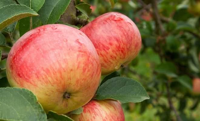 Яблоня «Боровинка» имеет самые положительные отзывы и получила известность не только в нашей стране, но и за рубежом