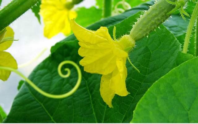 Для получения раннего урожая огурцов рекомендуется отдать предпочтение самоопыляемым сортам