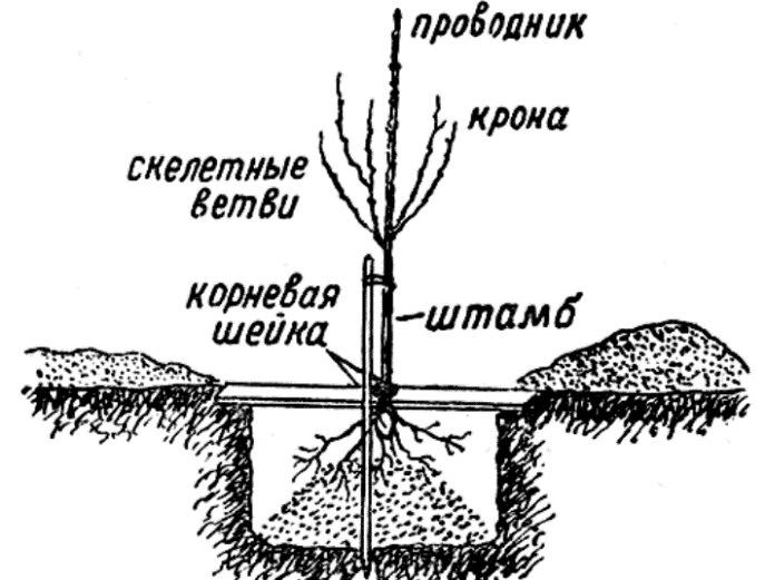 Глубина посадки персика зависит от размеров корневой системы саженца, а также особенностей почвы