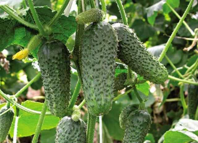 Сорт «Миранда-F1» – скороспелый и весьма высокоурожайный гибрид с большим количеством цветков женского типа