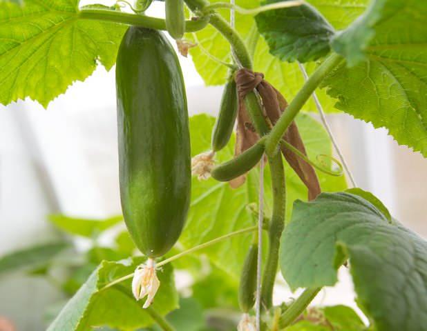 Выращивать самоопыляемые огурцы можно как на грядах открытого грунта, так и в теплицах