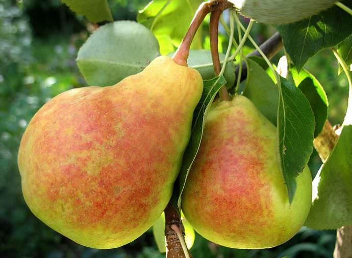 Садоводы в средней полосе России предпочитают выращивать на приусадебных участках грушу сорта «Лада»