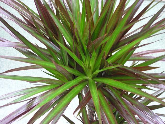 Драцена marginata