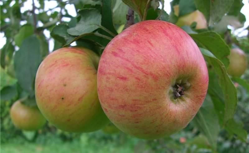 «Медуница» – один из наиболее распространенных и известных сортов яблок