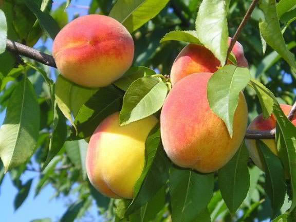 Количество урожая персиков напрямую зависит от правильного и своевременного внесения удобрений под растения