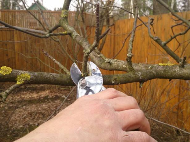 Яблоне сорта «Медуница» необходимо выполнять регулярную обрезку