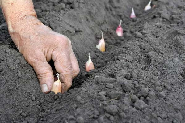 Именно чеснок наиболее часто выращивается в Подмосковье посредством подзимней посадки